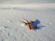 liepos žiedas ant sniego